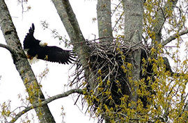 Eagle Tree in Campbell River